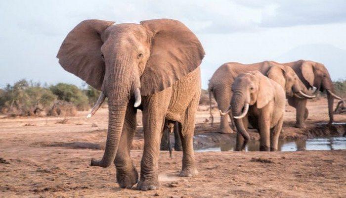 Уникальные возможности слонов.