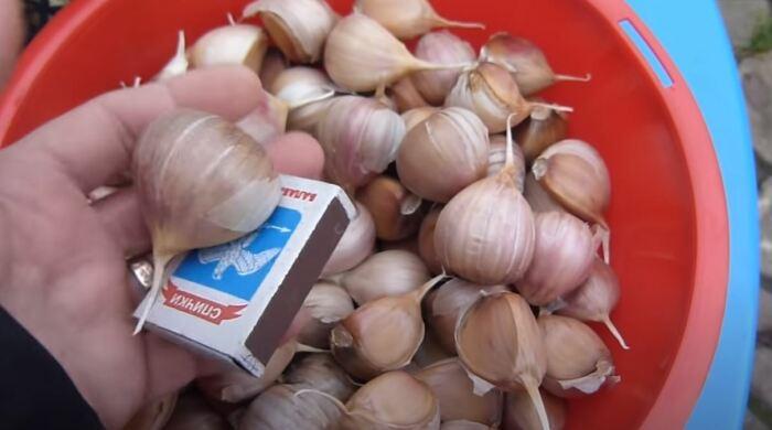 Берем только лучший чеснок. /Фото: youtube.com.