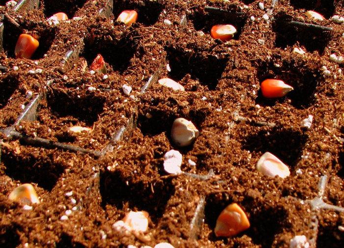 Тоже самое с семенами. /Фото: rastenievod.com.