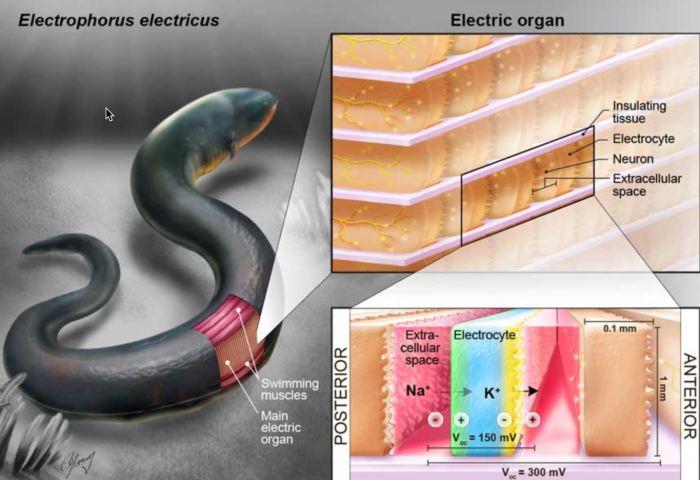 Биологический генератор получился из мышечной ткани. /Фото: kurzweilai.net.