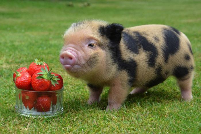 Подложил свинью.