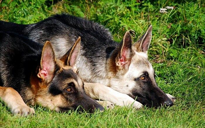 Обе собаки очень хороши. /Фото: webupper.ru.