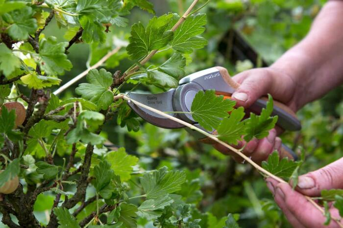 Резать следует для повышения урожайности. /Фото: stroy-podskazka.ru.