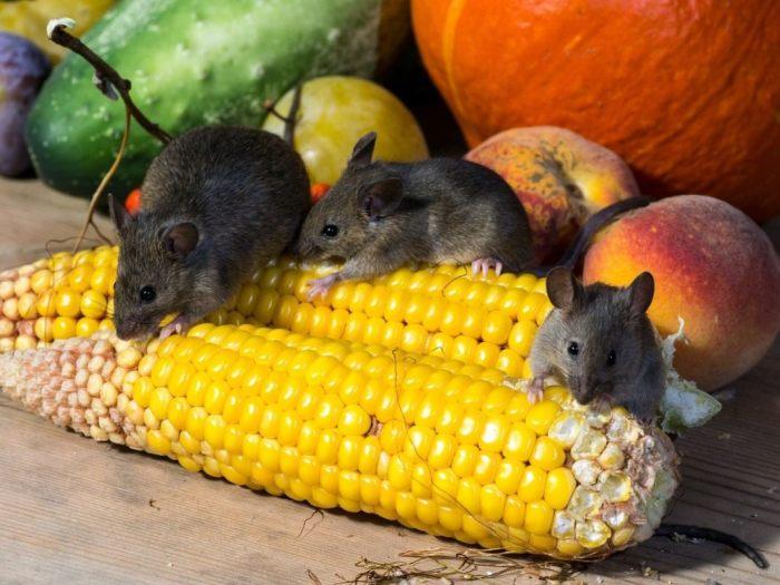 Мыши съедят все. /Фото: муп-апу.рф.