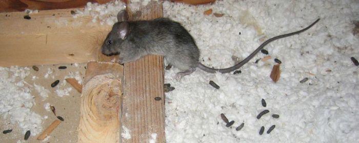 Мыши уйдут. /Фото: дезцентр-русь.рф.
