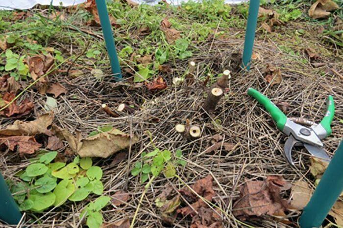Старые кусты обрезаются под корень. /Фото: topfazenda.ru.