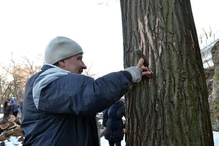 Зеленые активисты спасают деревья гвоздями. /Фото: dumskaya.net.