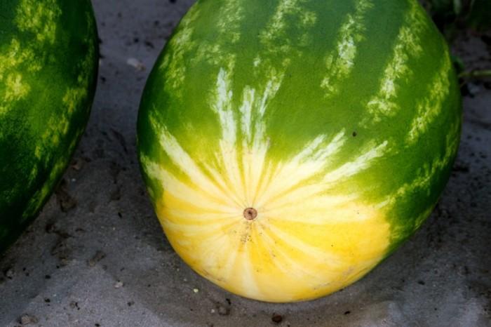 Как выбрать качественный арбуз и не следовать заблуждениям