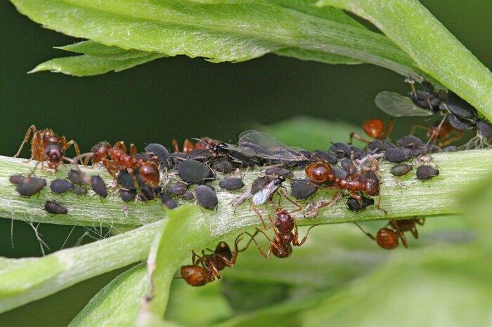 Лишайте муравьев кормовой базы. /Фото: grizun-off.ru.