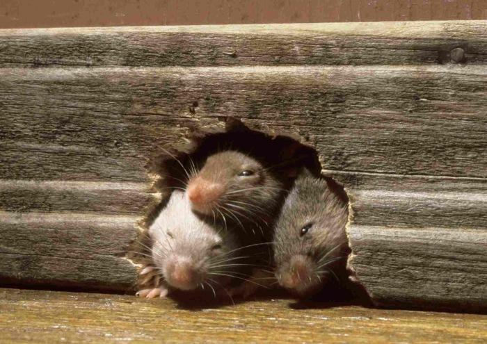 Мыши - очень плохие соседи. |Фото: ok.ru.