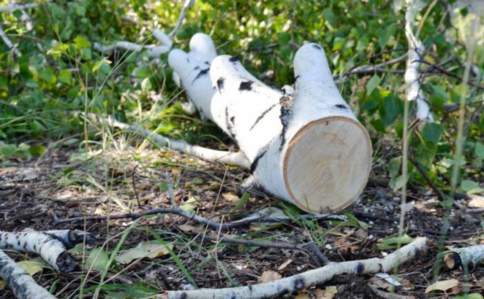 Очень вероятно, что березу придется рубить в расцвете сил. /Фото: megapolisonline.ru.