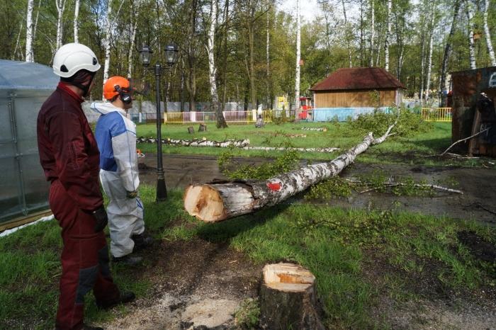 Все потому, что береза начинает трухлеть. /Фото: arboristik.ru.