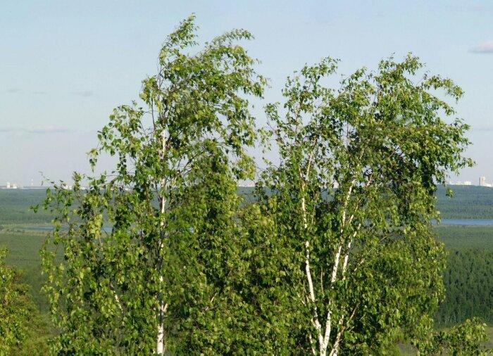 Если крона зеленая - все нормально, если стала лысеть - жди беды. /Фото: newogorod.ru.