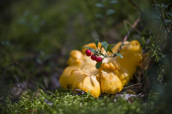 Лисичка - один из немногих кошерных грибов. /Фото: лесные.рф.