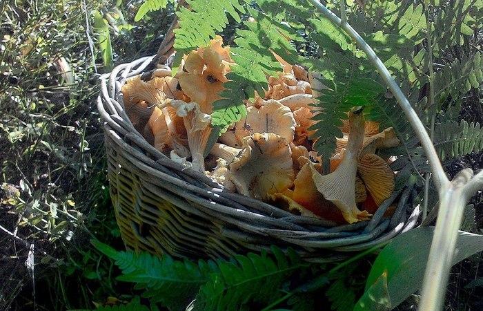 Лисички - любимая добыча тихого охотника. /Фото: Pinterest.