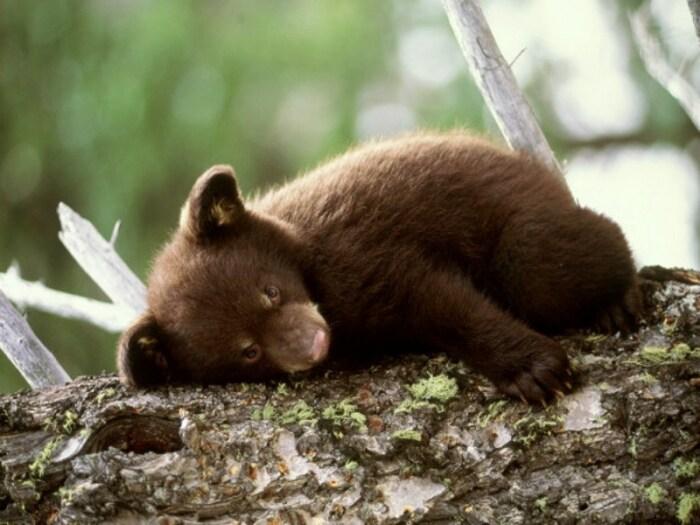 Медведь не может взять и просто заснуть на зиму. /Фото: 1zoom.ru.