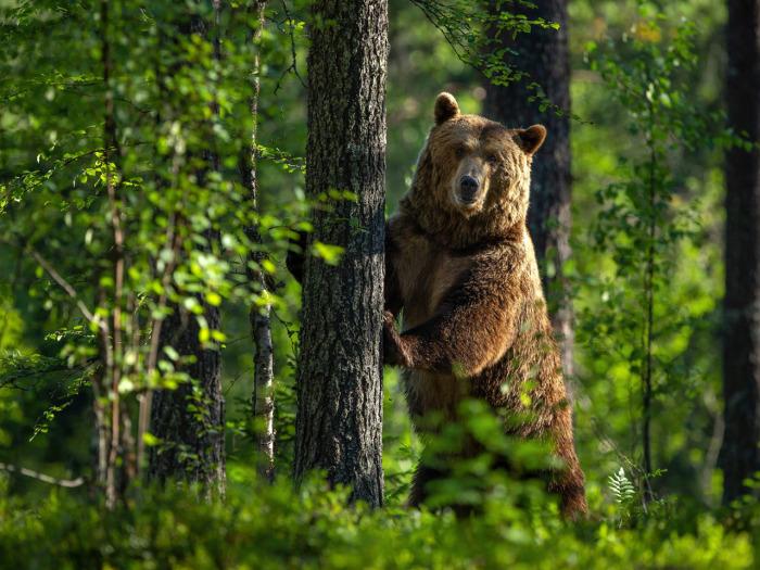 Косолапому приходится много кушать. /Фото: funart.pro.