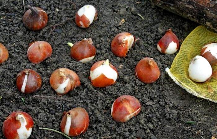 Подготовка тюльпанов к посадке осенью — Цветы букеты
