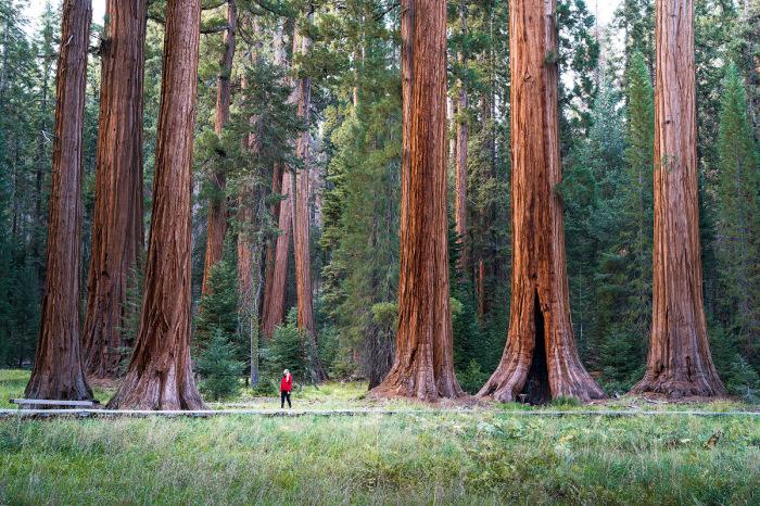 Эти деревья очень требовательны к климату. /Фото: drinkevolve.com.