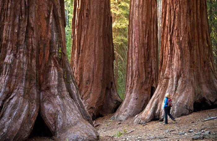Вырастить секвойи можно и в других местах, если создать условия. /Фото: Pinterest.