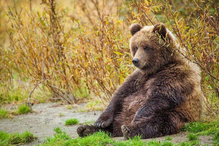 Медведи не умеют тягать двери на себя. /Фото: nat-geo.ru.