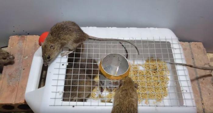 Крыса не пройдет! /Фото: youtube.com.