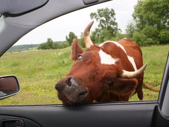 Коровы вечно лезут на дорогу. /Фото: bezformata.com.