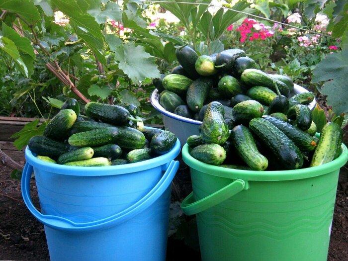 Урожай будет больше. /Фото: na-dache.pro.