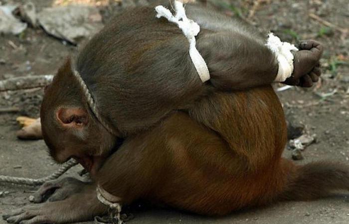 Арест обезьяны. /Фото: buzzfeed.com.