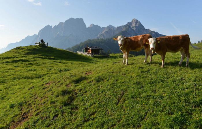 Можно ориентироваться по коровам.