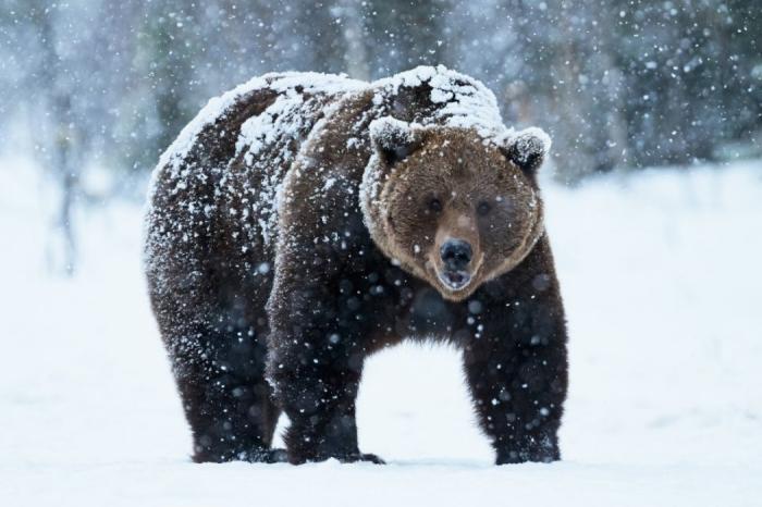 Медведи просыпаются по разным причинам. /Фото: ural-meridian.ru.