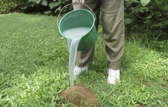 Способ для дачников, как извести муравьев и тлю на участке