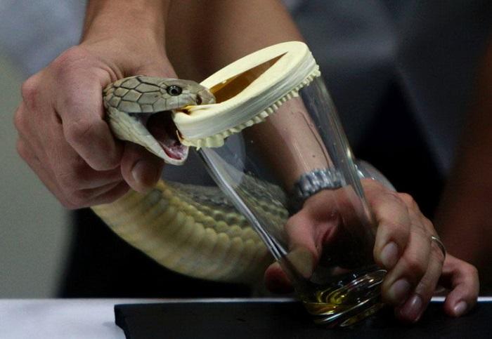 Доильщик ядовитых змей. | Фото: dobriiden.ru.