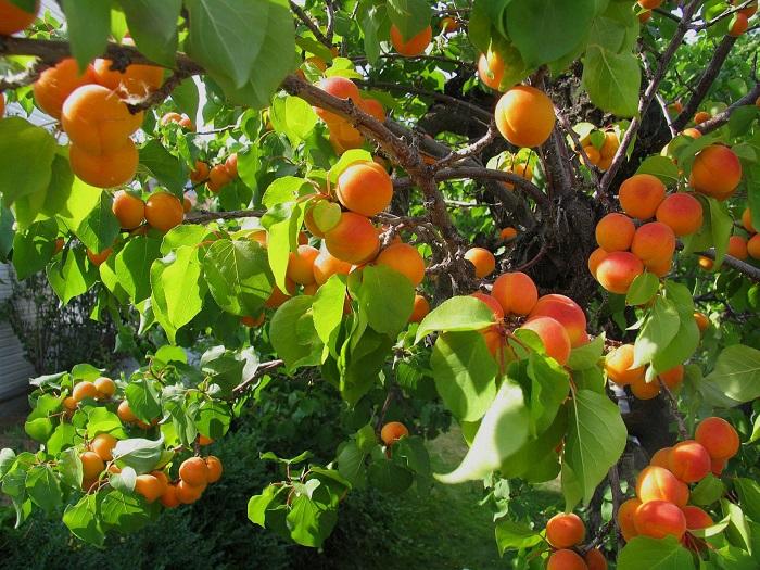 Курага – это засушенные половинки абрикоса без косточки.