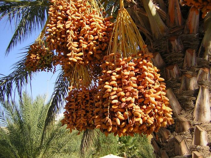 Это съедобный плод финиковой пальмы.