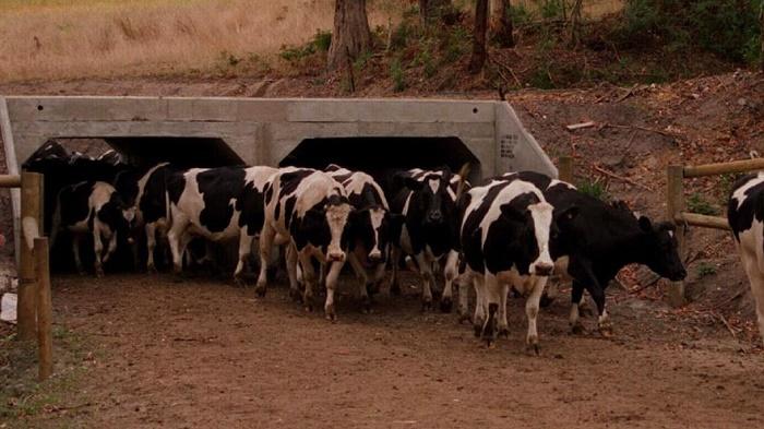 В штате Виктория сделаны специальные тоннели для перехода крупного скота.