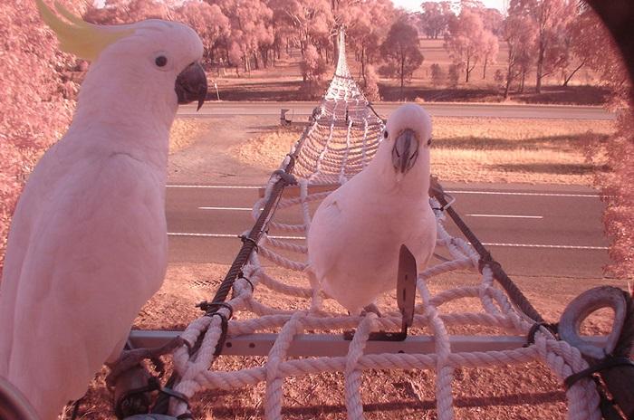 Верёвочный мост над шоссе для попугаев и остальных животных.
