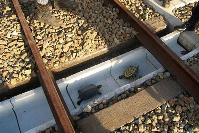 Туннель для перехода черепах через железнодорожные пути.