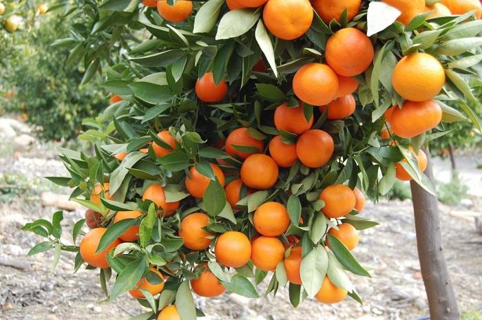 Яркие плоды содержат огромное количество витаминов и антиоксидантов, являются настоящей кладовой здоровья.