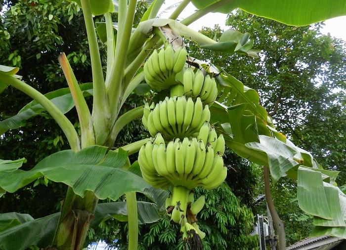 Вкусный фрукт, который можно использовать во многих предназначениях.