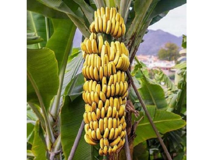 Если регулярно употреблять плоды, то можно снизить к минимуму риск возникновения депрессии и бессонницы.