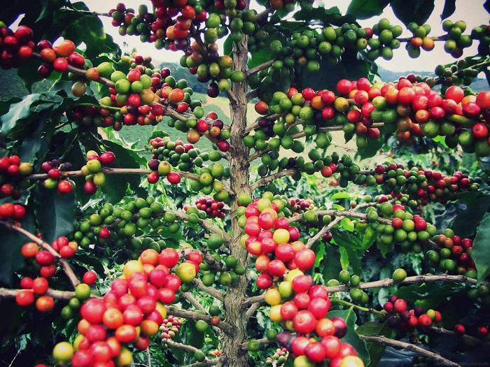 В настоящее время утро трудно представить без чашечки бодрящего кофе.