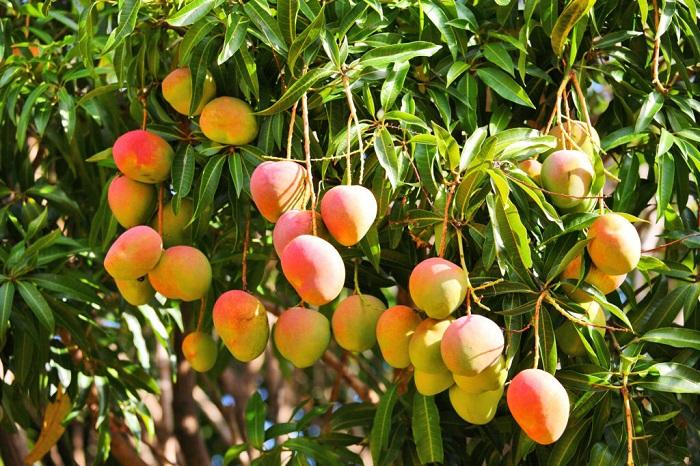 Этот плод обладает волокнистой структурой и сладким вкусом, попробовав его, не пожалеете.