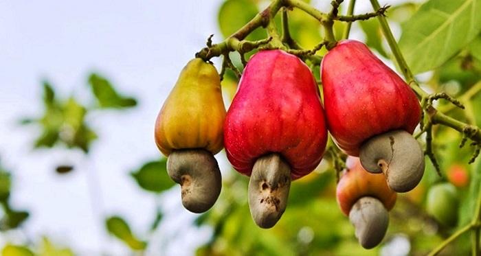 Орешки кешью можно употреблять в соленом виде и добавлять в кондитерские изделия.