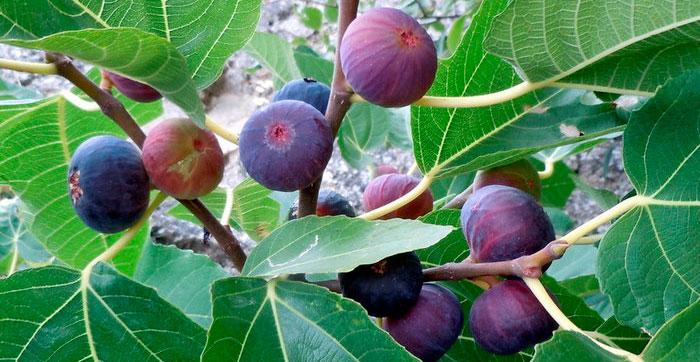 Считается, что чем мельче плоды, тем вкуснее будет плод инжира.