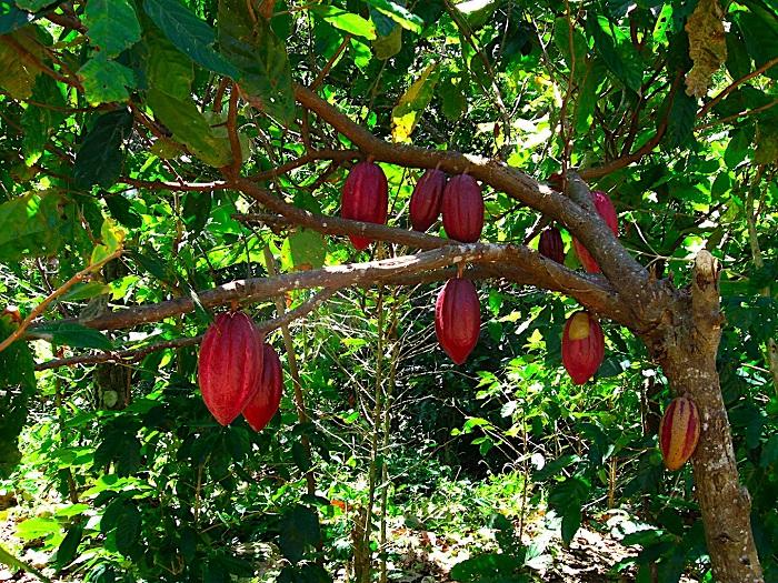 Какао любят взрослые и дети, так же он используется для выпечки.