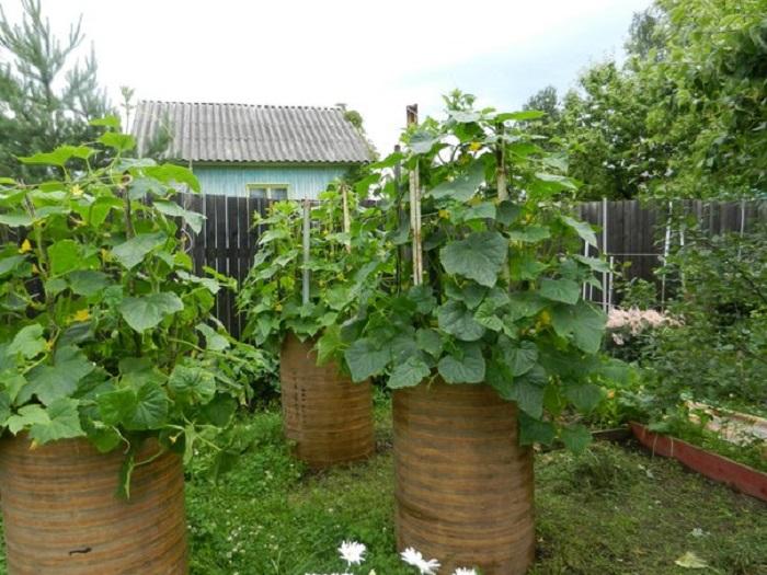 Новый способ выращивать огурцы в бочках.