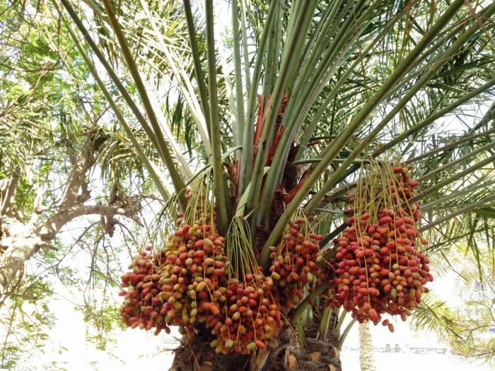 Удивительные гроздья фиников. \ Фото: blogspot.com.