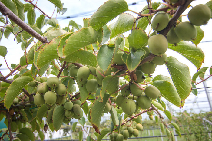 А вы знали, как растет киви? \ Фото: dumskaya.net.