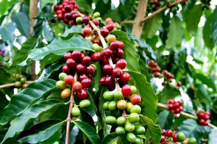 А вот так растёт кофе. \ Фото: teakava.com.ua.